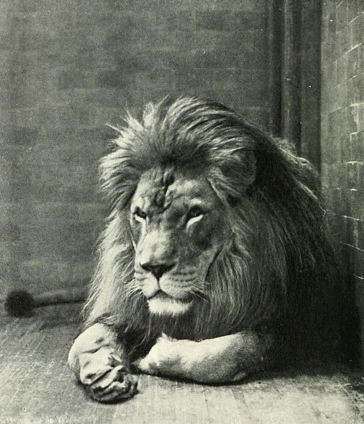 Sultan the Barbary Lion, New York Zoo, 1897. Source: Annual Report of the New York Zoological Society, 1897, via Wikimedia Commons