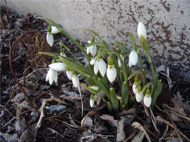 cameron-snowdrops