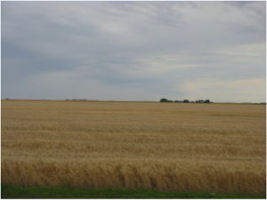Wheat fields at Weyburn, Sk. September 2009. Photo by Merle Massie