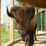 One of the bison displays at Wanuskawin.