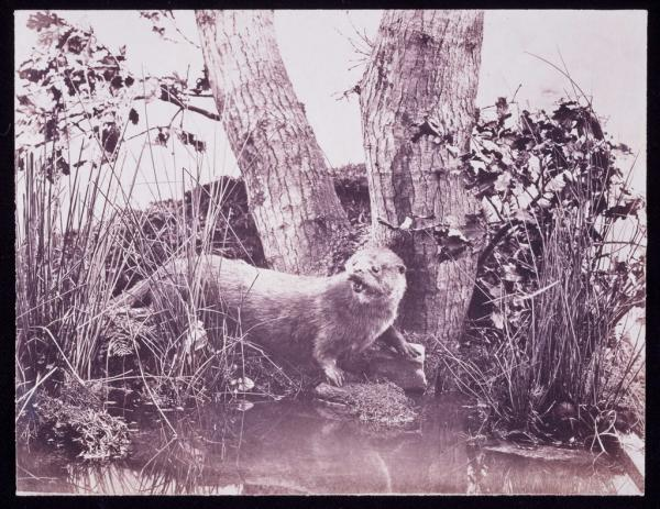 A photo of an Otter from the 1850s by John Dillwyn Llewellyn. Because of the long exposures needed in early photography Llewellyn used stuffed animals situated in nature.