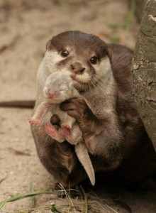 Otter with whelp