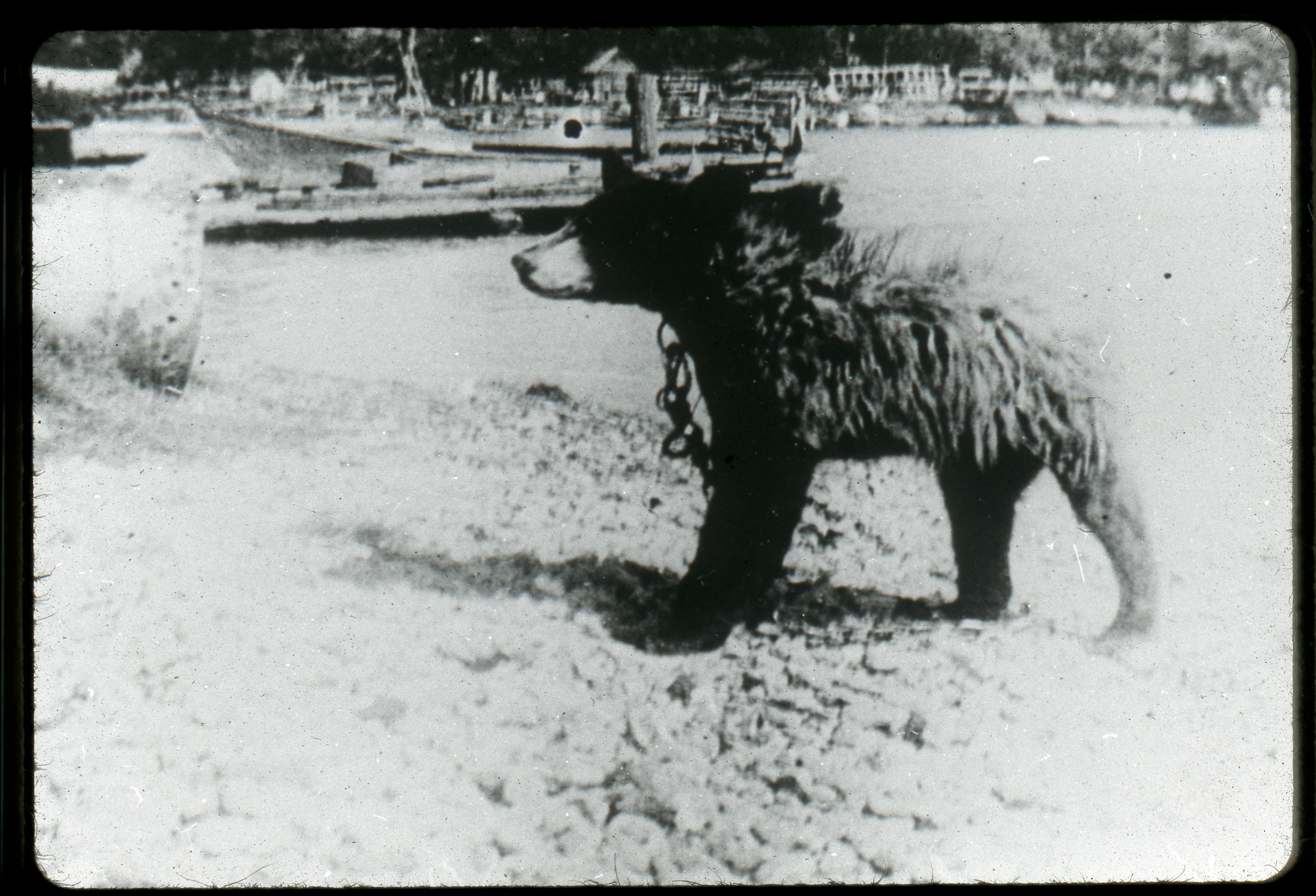 Bear on Main Duck Island, Osborne Collection.