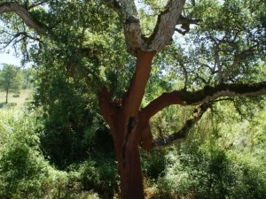 A recently cut cork tree. Source: Melissa Charenko