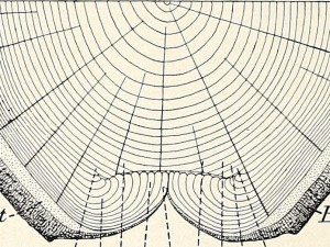 from B.E. Fernow's Age of Trees and Time of Blazing Determined by Annual Rings, 1897