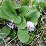Mayflower (Epigaea repens)