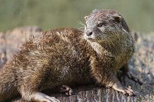 Lying otter looking back, Tambako the Jaguar, Flickr.