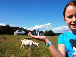 Sadie, goats, & sheep, New Argyle farm, PEI, 2014.