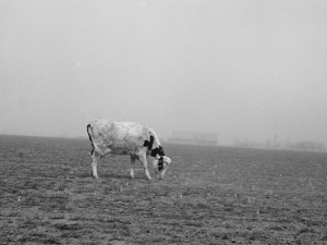 Cow trying to graze on the windswept pasture of a farm in Ford County, Kansas, 1936 (Photo Credit: Library of Congress, LU-USF34-001876)