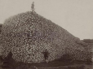 Bison skulls in the US in 1870. Source: truth-out.org/public domain
