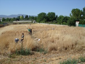 Harvesting Wheat at La Zubia Experimental Field. Photo by Juan Infante