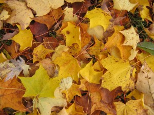 Maple fallen leaves before the frost, Ctd 2005, Flickr