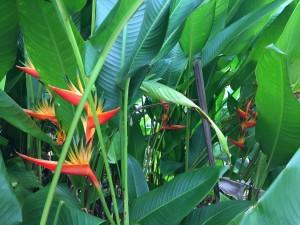 Birds of Paradise, Wailau Homesteads