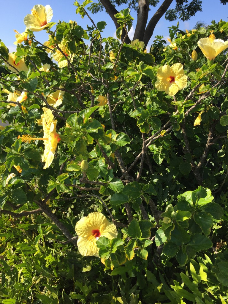Hibiscus at Poipu, Kauai