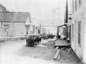 Cattle drive down Main Street, Barkerville, 1898. Source: City of Vancouver Archives.