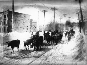 Cattle on Côte-des-Neiges Road, Montreal, QC, about 1900. McCord Museum, MP-0000.27.69
