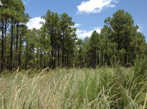 Featured Image: Healthy longleaf pine forest in the sandhills of North Carolina. Photo by author.