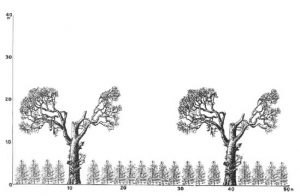 Figure 1c: Coffee plantation with regulated shade (1870s-1980s); Many estates maintained regulated shade during the era of the Green Revolution. source: Fournier, 1980