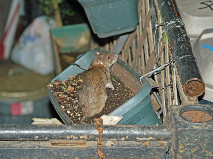 Rat in a flowerbox, New York City (David Shankbone, Wikimedia Commons)