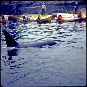 Killer Whale Capture off Vancouver Island, 1973. Source: author's personal collection.