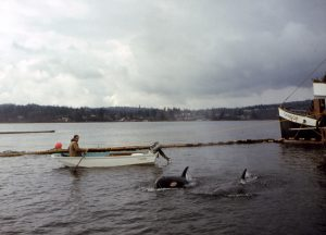 The Capture That Netted Skana in Puget Sound, February 1967. Courtesy of Ted Griffin.
