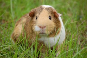 White and brown guinea pig. Source: Pexels.com