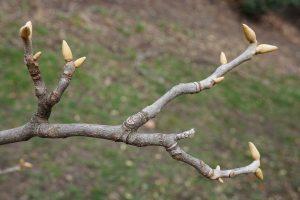 """""""Carya myristiciformis (Nutmeg Hickory),"""" Plant Image Library, Flickr"""