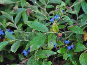 Blueberries growing near the site of the Kam Kotia Mine disaster (Timmins, Ontario). Photo by author